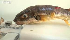 Balon balığında, kanser hastalarının acılarını dindiren zehrin üretimi için çalışmalar başladı
