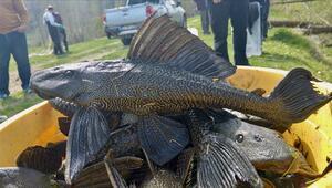İstilacı iki balık türü araştırıldı