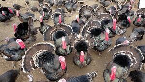 Eflaninin sembolü hindiler yılbaşında tüm Türkiyede sofraları süslemeye hazırlanıyor