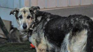 Tiner dökülerek yakılan köpek yaşama tutundu