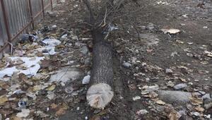 Yalova'da ağaçlara verilen zarar tepki çekti