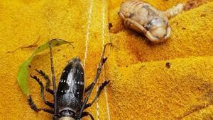 Drakula Böceği nedir ve zararları nelerdir