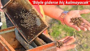 Son dakika haberler: Adanada korkutan arı ölümleri On binlercesi...