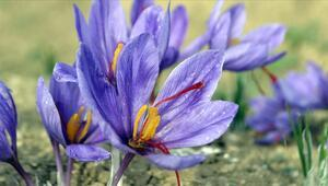Safran nasıl üretilir ve yetiştirilir Safran bitkisinin kullanım alanları ve faydaları