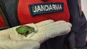 Bu kez de kaplumbağa