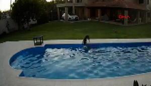 İnanılmaz görüntü Havuza düşen köpeği başka bir köpek böyle kurtardı