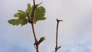 Manisada bahar havasında üzüm bağları filizlendi