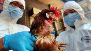 Hindistanda kuş gribi salgını nedeniyle kümes hayvanları itlaf ediliyor