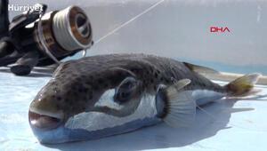 Siyanür kadar güçlü zehri olan balon balığı öldürmeye devam ediyor