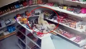 Dikkat çeken görüntü... Sivasta marketten bisküvi alan köpek kameraya yansıdı
