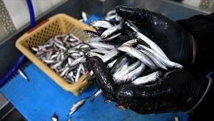 Son dakika... Karadenizde hamsi avı 10 gün yasaklandı