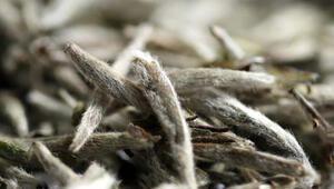 Virüs ve bakterilere karşı etkisi çok kuvvetli... Beyaz çayın faydaları neler