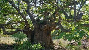 Doğal miras olarak kabul edilen 1625 anıt ağacın bakımı yapılacak