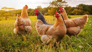 100 binden fazla tavuk itlaf edildi