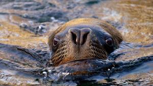 Nesli tükeniyor... Deniz aslanına tüberküloz teşhisi koyuldu