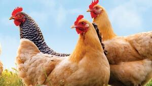 Japonyada kuş gribi salgını büyüyor... 6 milyona yakın tavuk itlaf edildi