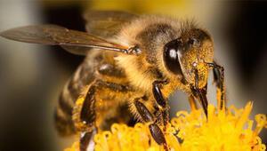 Arıların Covid-19u tespit edebilmesi için daha yolumuz var