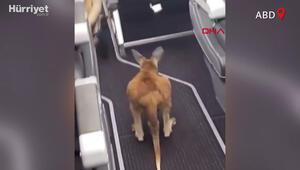Minik kangurunun uçakla seyahati viral oldu