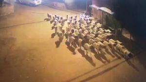 Çalınan koyunları dışkılarını takip ederek buldular
