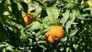 Muratpaşada parklara dikilen turunç ağaçlarının meyveleri reçel oluyor