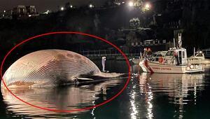 İtalyada 70 tonluk balina kıyıya vurdu