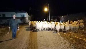 Son Dakika: Çobanın dağda kaybettiği koyunları jandarma buldu