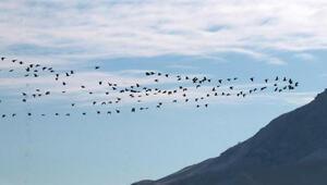 Göller Bölgesinde su kuşu sayımı başladı