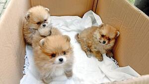 Yavru köpekleri uyuşturup kaçırmışlar