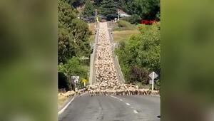 İlginç görüntülerin adresi Yeni Zelanda... Kuzu sürüsü trafiği felç etti