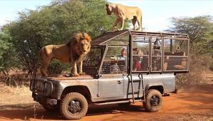 Senegaldeki doğal yaşam parkının ziyaretçileri aslanları yakından görebilmek için kafese giriyor