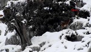 Nesli tükenme tehlikesi altında olan dağ keçileri, karla kaplı Toroslarda görüntülendi