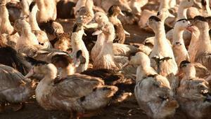 Fransa'da 2 milyona yakın ördek kuş gribi nedeniyle itlaf edildi