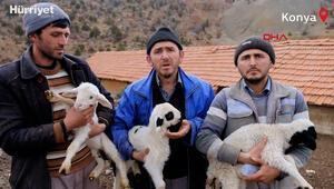 124 koyun çalındı; kuzuları biberonla besliyorlar