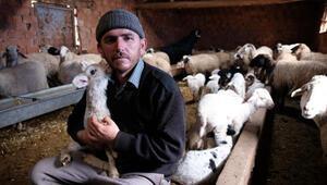 Kuzuları biberonla besliyorlardı, çalınan koyunlarından 60ı bulundu