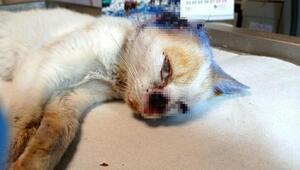 Kulağı ve burnu parçalanmış halde bulundu Hayati tehlikesi...