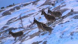 Aladağlarda nesli tehlike altındaki yaban keçilerinin sayısı 2 bin 201e çıktı