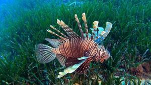 Siyanürden 1200 kat daha zehirli balon balığı film oldu