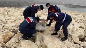 Jandarmanın donmak üzereyken bulduğu yaralı pelikan, korumaya alındı