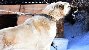 Kurtlara karşı 3 kangal köpeği önerisi