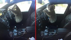Zincirleme kazaya sebep olan koala böyle poz verdi