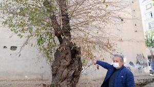 500 yıllık dut ağacının koruma altına alınmasını istiyorlar