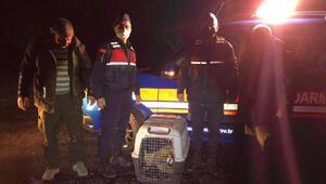 Jandarmanın yaralı bulduğu tilki tedaviye alındı