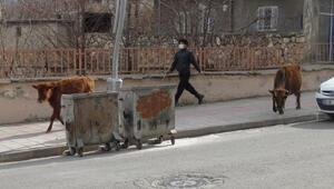 Başıboş inek ve yavrusuna ahırında baktı, 12 kilometre yol gidip Saadet nineye ulaştırdı