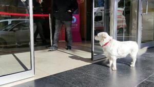 Trabzondaki Boncuk köpek Japonyanın gündeminde