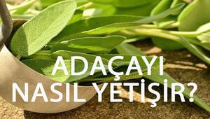 Adaçayı Nasıl Yetişir Adaçayı Türkiyede En Çok Ve En İyi Nerede Yetişir Ve Nasıl Yetiştirilir