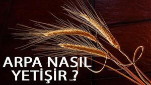 Arpa Nasıl Yetişir Arpa Türkiyede En Çok Ve En İyi Nerede Yetişir Ve Nasıl Yetiştirilir