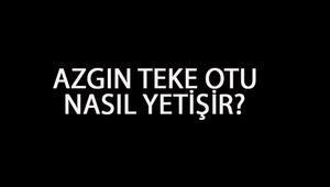 Azgın Teke Otu Nasıl Yetişir Azgın Teke Otu Türkiyede En Çok Ve En İyi Nerede Yetişir Ve Nasıl Yetiştirilir