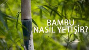 Bambu Nasıl Yetişir Bambu Türkiyede En Çok Ve En İyi Nerede Yetişir Ve Nasıl Yetiştirilir