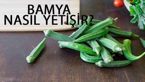 Bamya Nasıl Yetişir Bamya Türkiyede En Çok Ve En İyi Nerede Yetişir Ve Nasıl Yetiştirilir