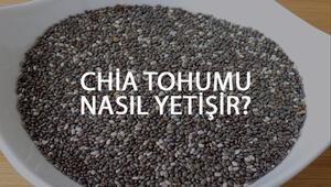 Chia Tohumu Nasıl Yetişir Chia Tohumu Türkiyede En Çok Ve En İyi Nerede Yetişir Ve Nasıl Yetiştirilir